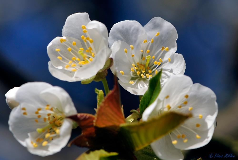 --Kirschblüte--