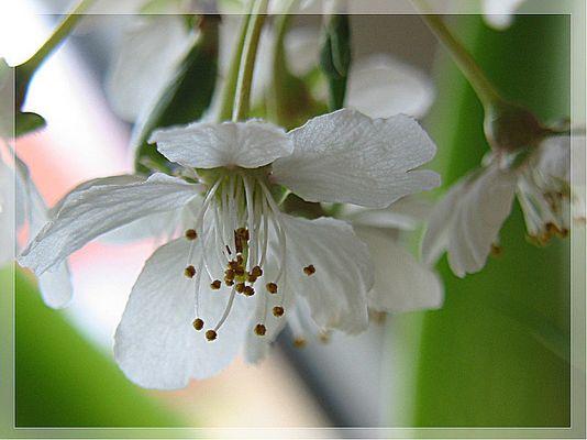 Kirschblüte am Fenster