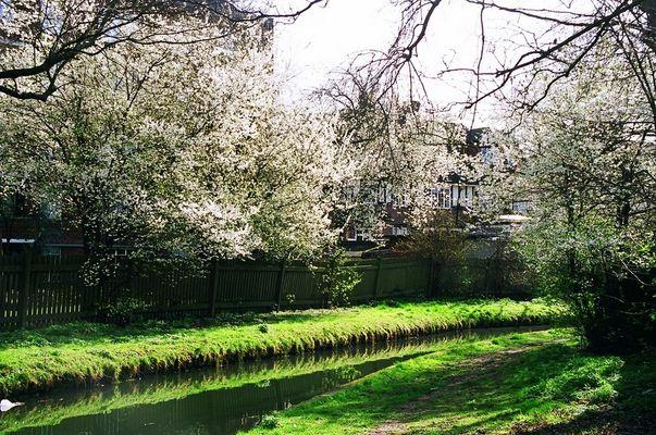 Kirschblüte am New River - London