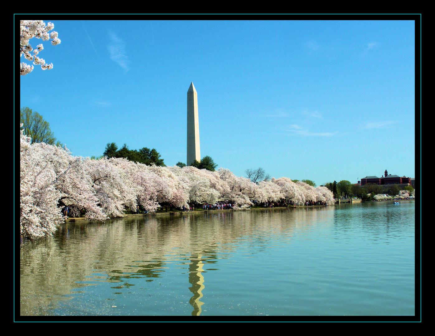 Kirschblüte am Washington Monument