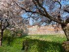 Kirschblüte an der Stadtmauer in Zerbst/Anhalt