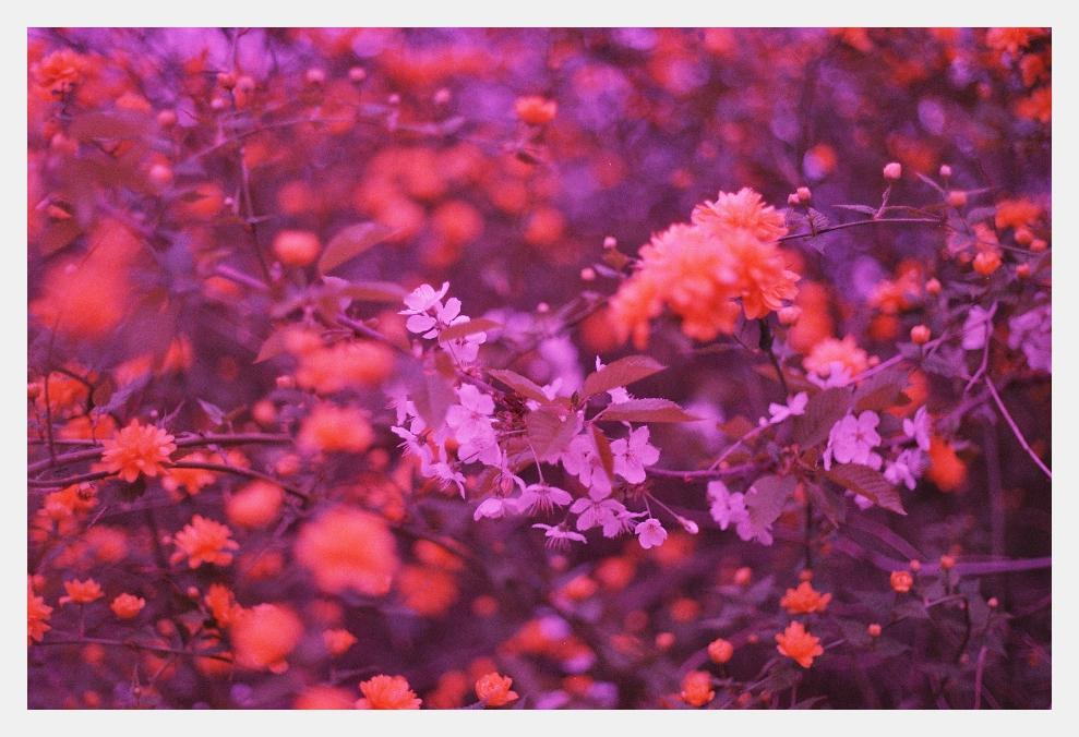 Kirschblüte auf abgelaufenem Film