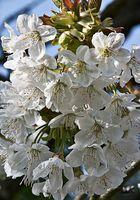 Kirschblüte bald ist es soweit