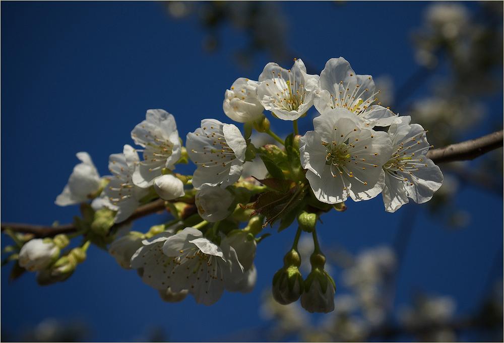 ~ Kirschblüte ~