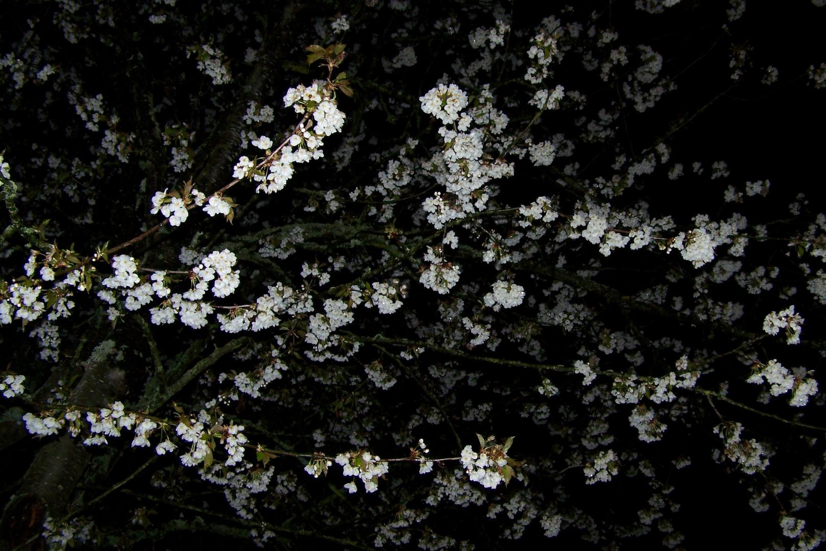 Kirschblüte bei der Nacht