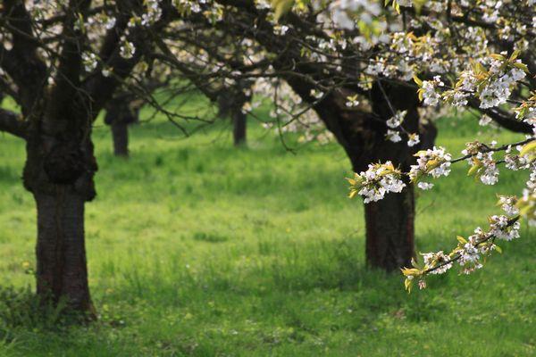 Kirschblüte bei Dohrenbach