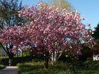 Kirschblüte bei Planten un Blomen