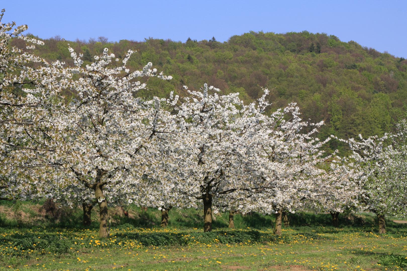 Kirschblüte bei Pretzfeld