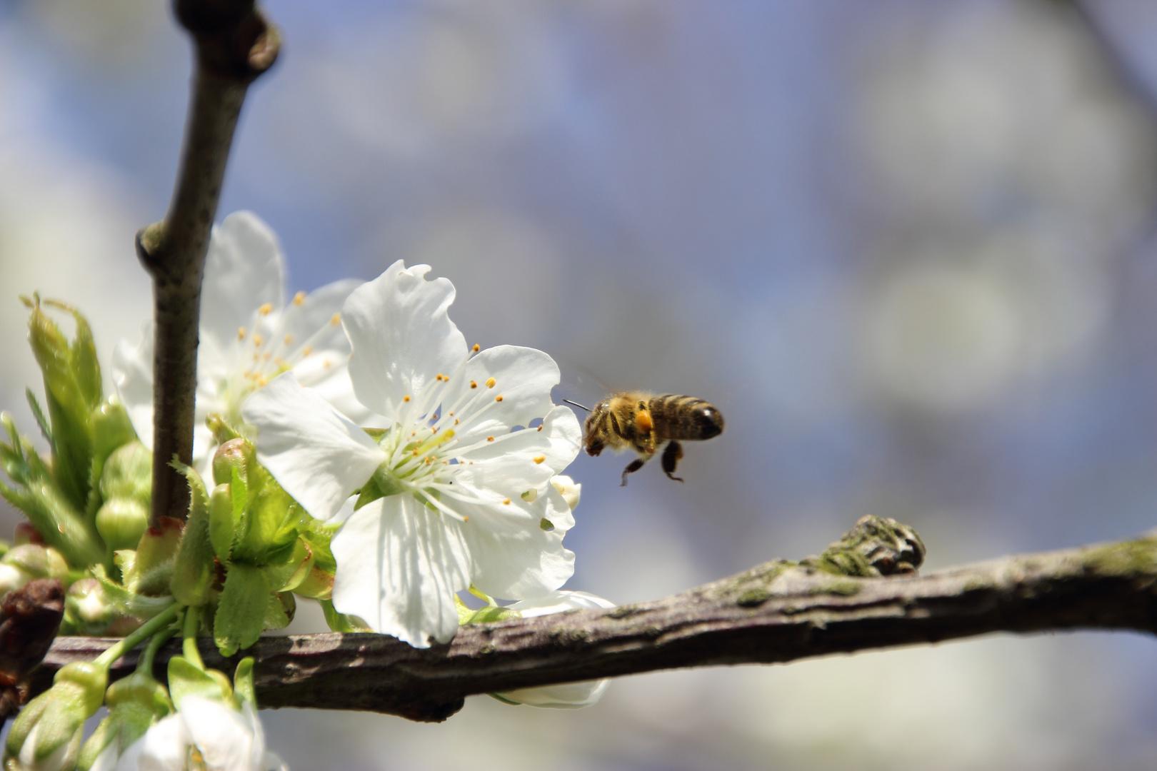 Kirschblüte-Biene