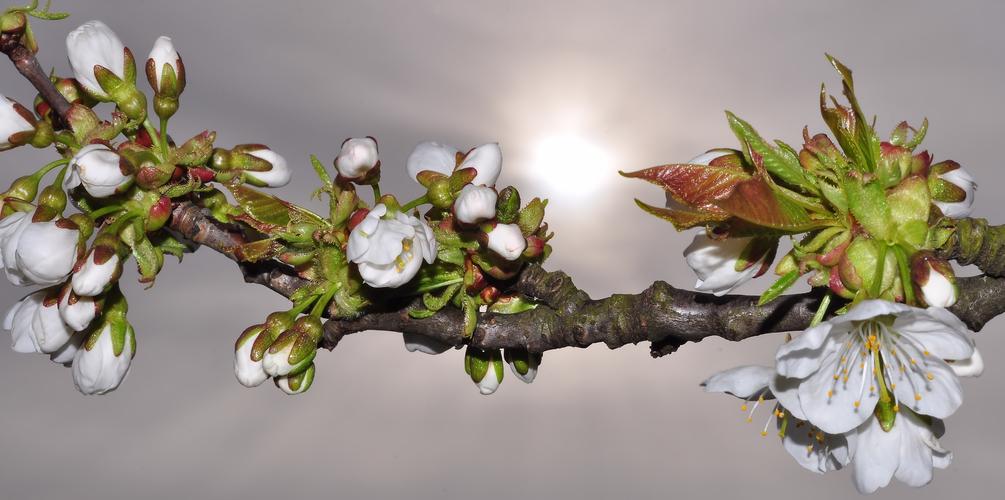 Kirschblüte...........