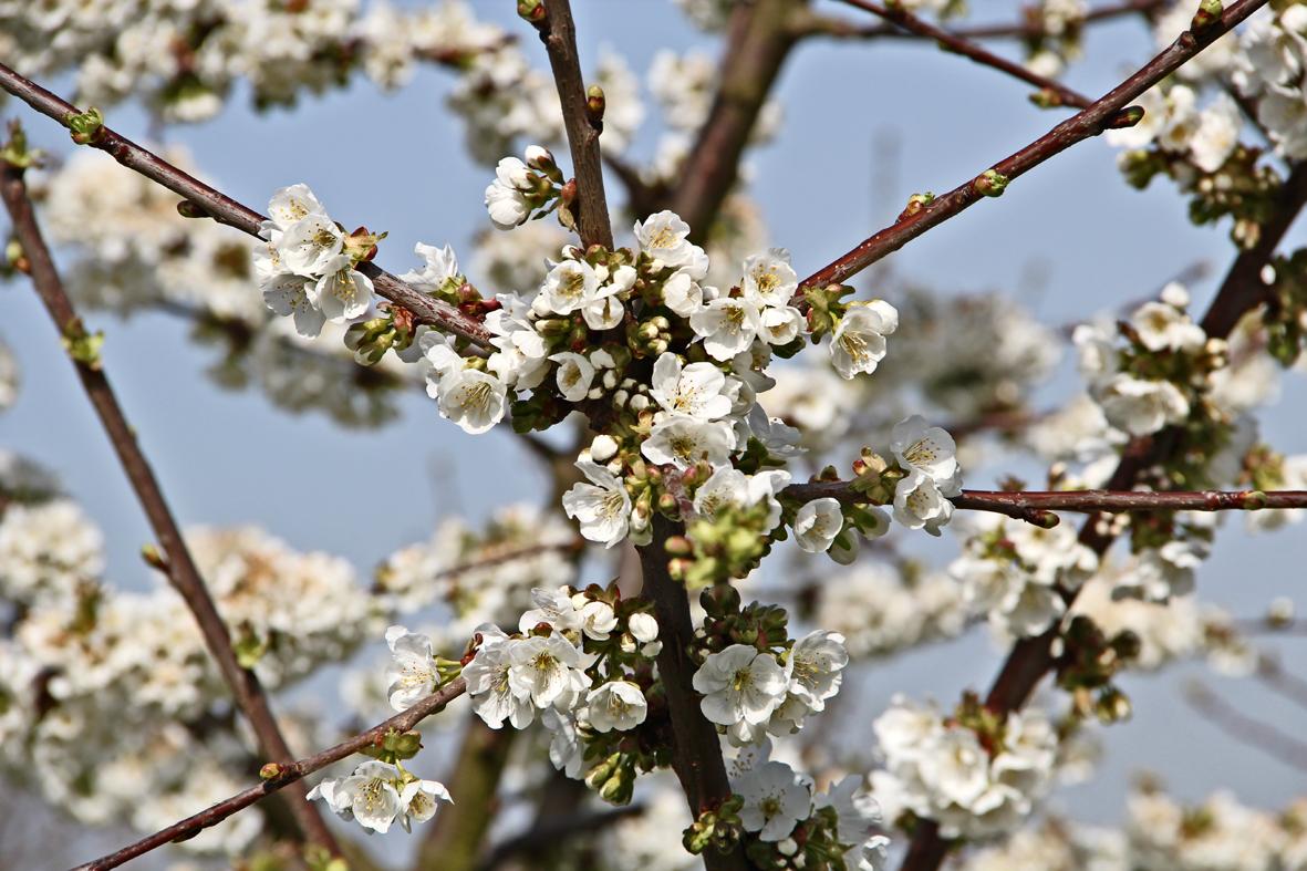 Kirschblüte ... ENDLICH :-)....