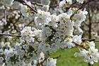 Kirschblüte ... ENDLICH :-)..