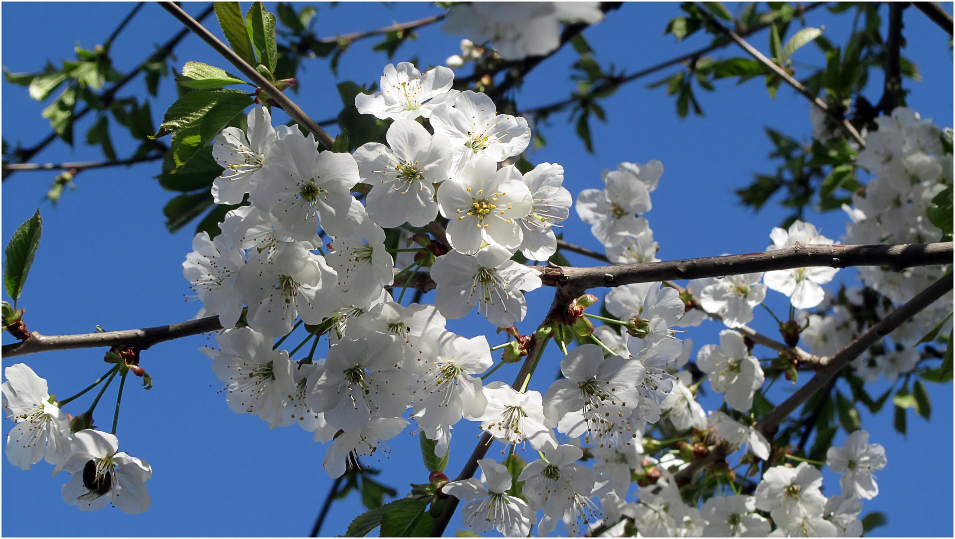 Kirschblüte I