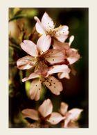 ~Kirschblüte II~