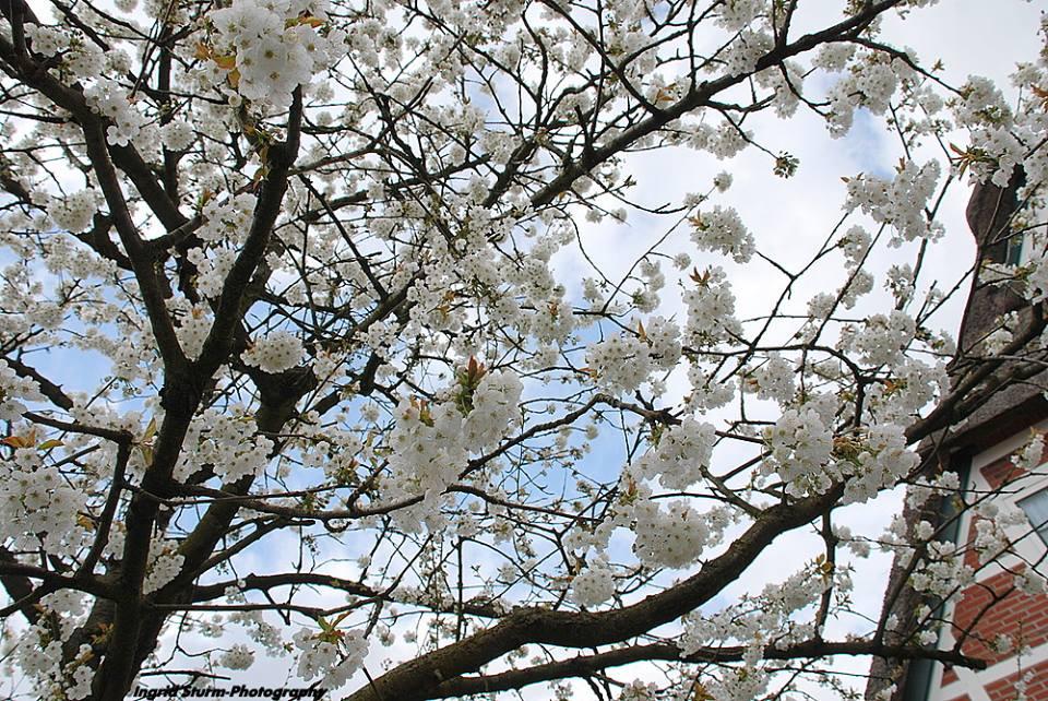 """Kirschblüte im """"Alten Land"""""""