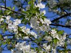 Kirschblüte im Bergischen