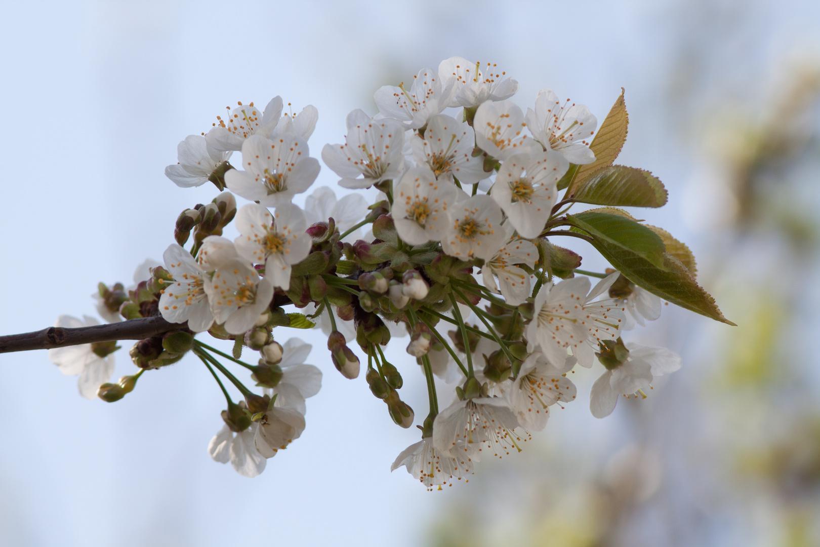 Kirschblüte im Garten