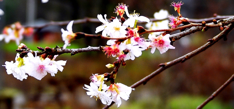 Kirschblüte im Januar