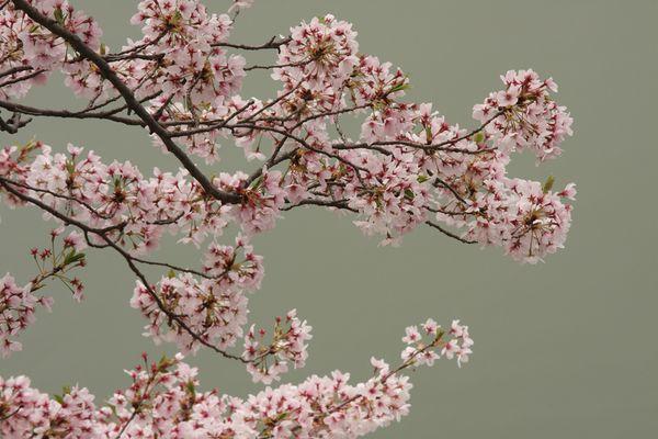 Kirschblüte im Land des Lächelns