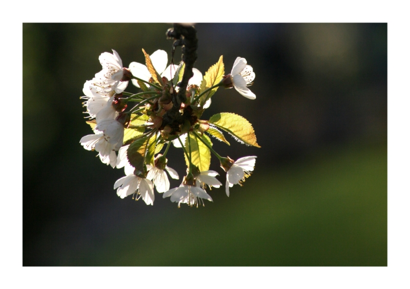 Kirschblüte in der Abendsonne :)