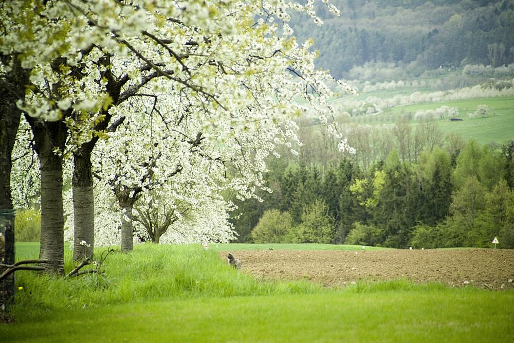 """Kirschblüte in der """"Fränkischen"""""""