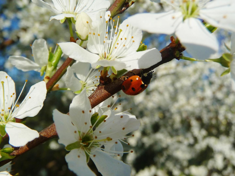 Kirschblüte in Duisburg