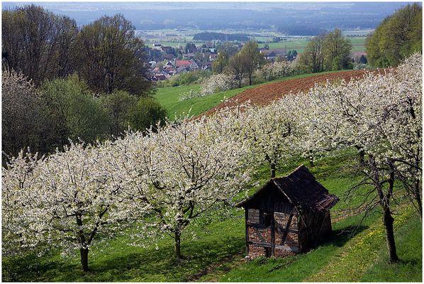 Kirschblüte in Franken