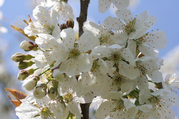 Kirschblüte in Kalchreuth