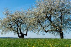 Kirschblüte in Niederbayern