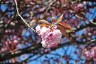 Kirschblüte in Seattle