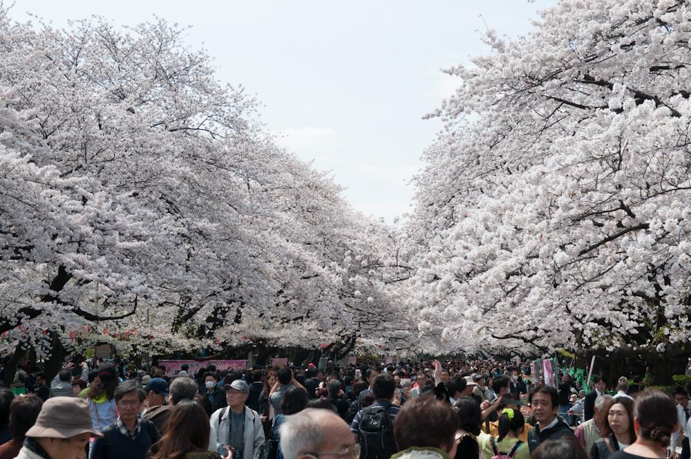 Kirschblüte in Tokyo