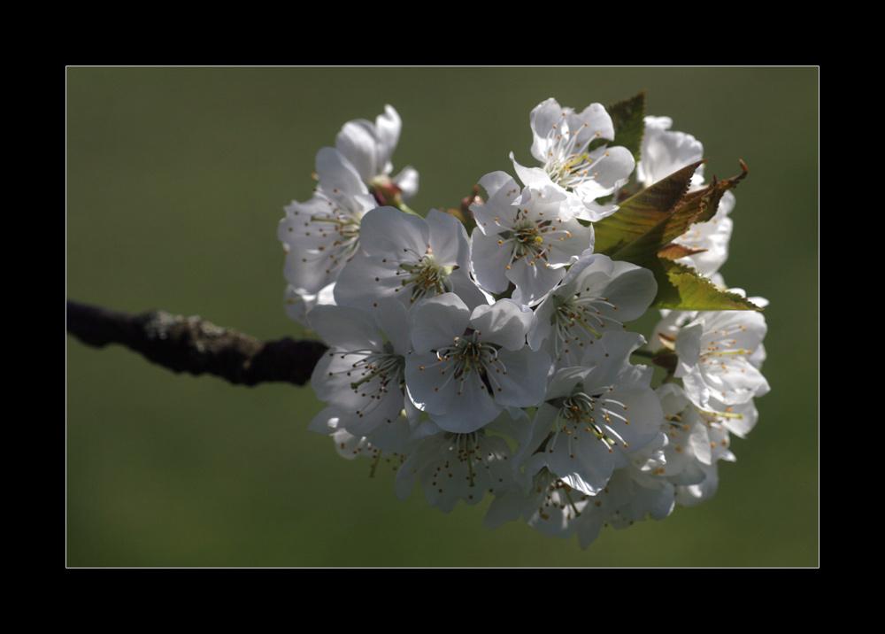 Kirschblüte klassisch