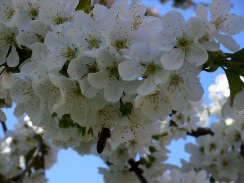 Kirschblüte mit einem fleißigen Helfer