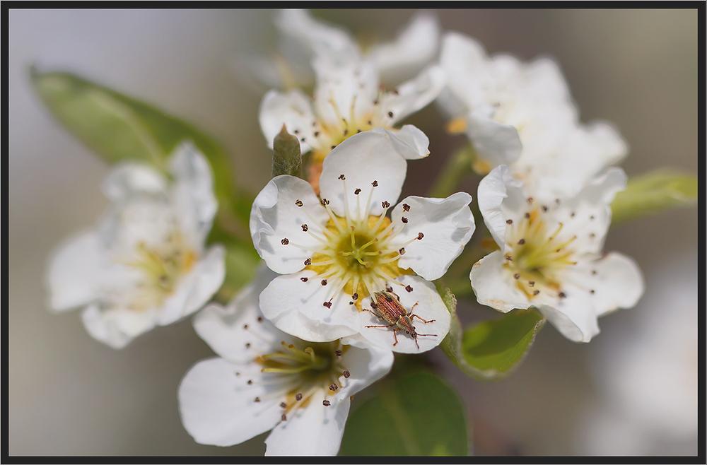 Kirschblüte mit Farbtupfer