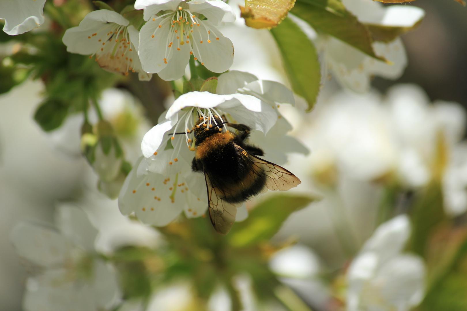 Kirschblüte mit Hummel