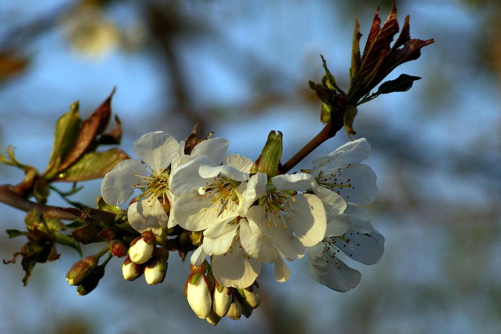 Kirschblüte um 19.00 Uhr