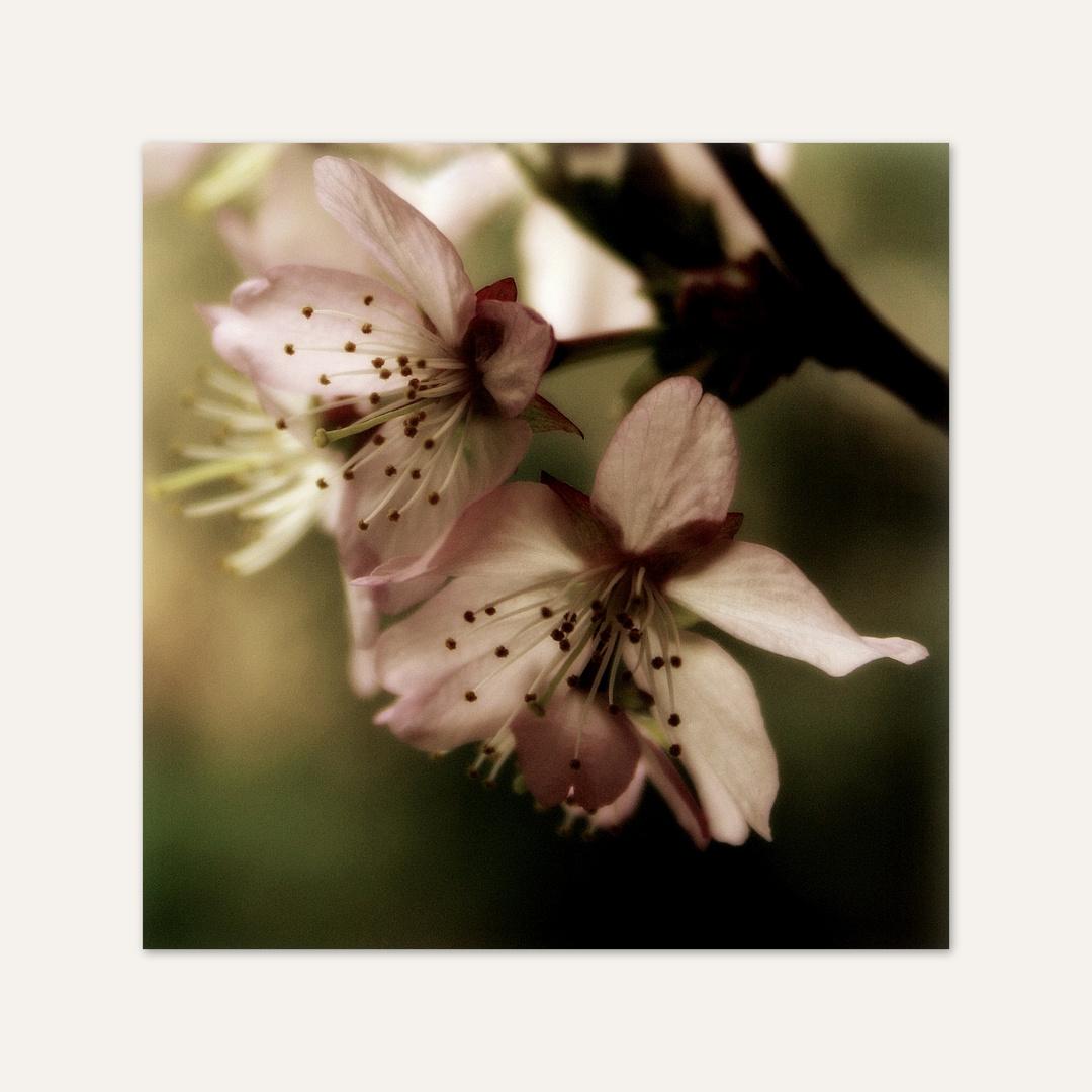 ~Kirschblüte V~