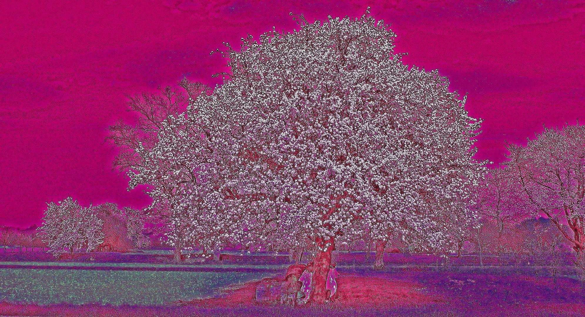 Kirschblüte (verändert)