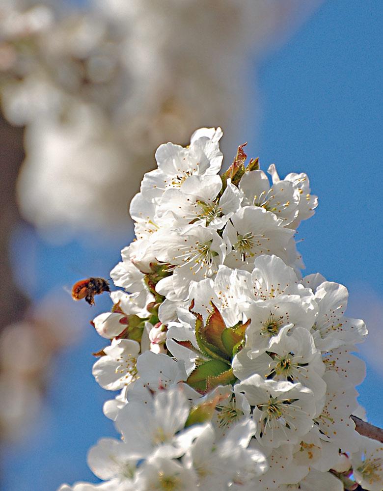 Kirschblüte02