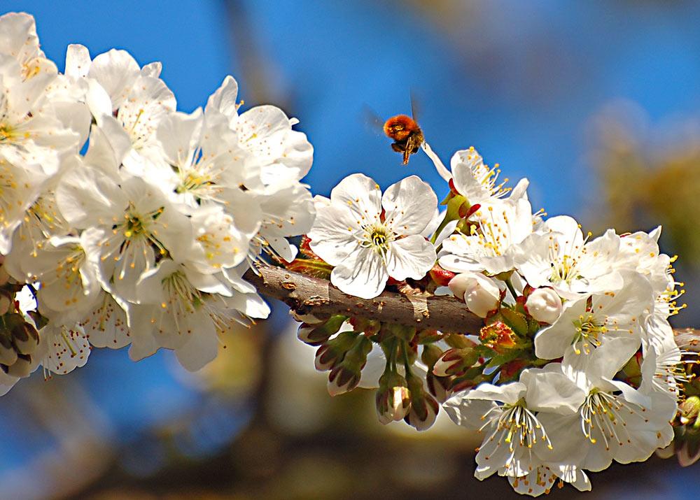 Kirschblüte03
