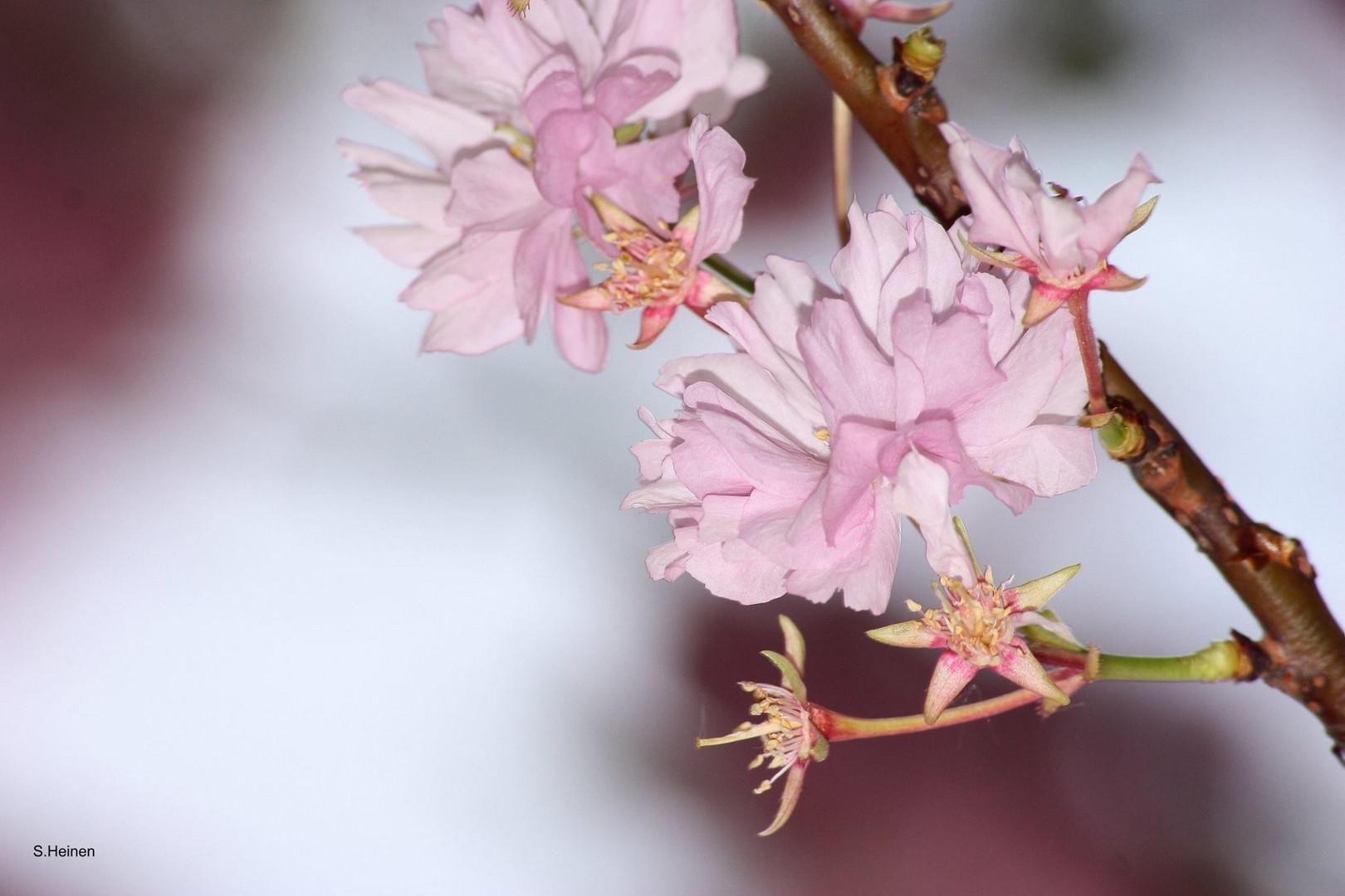 Kirschblüte2