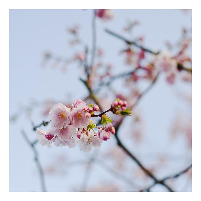 kirschblüten°