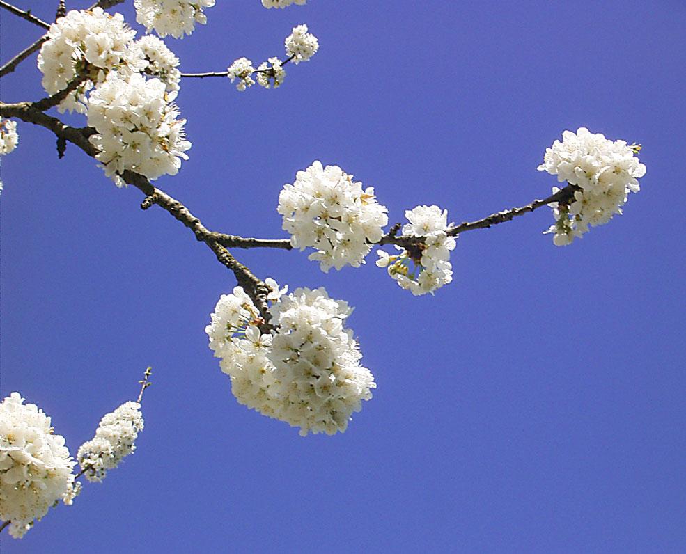 Kirschblueten 1