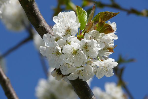 Kirschblüten 2010