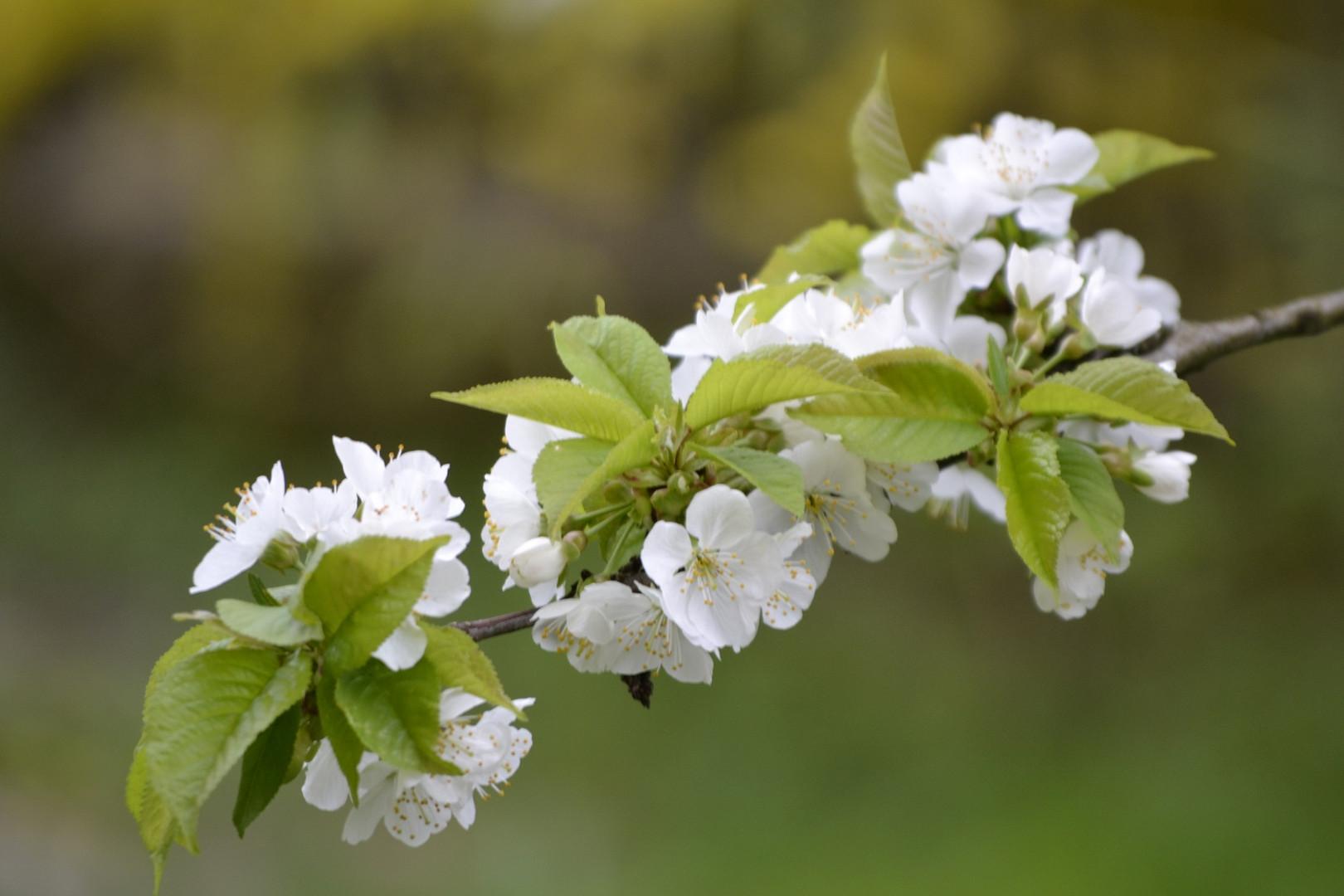 Kirschblüten 2013