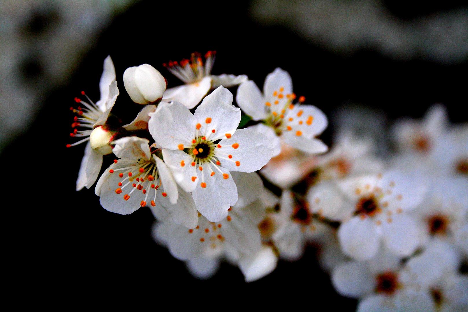kirschblüten.
