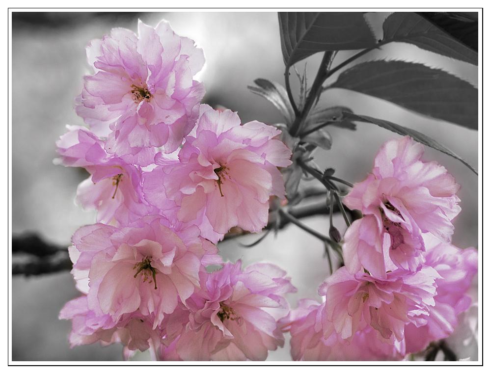 Kirschblüten.......