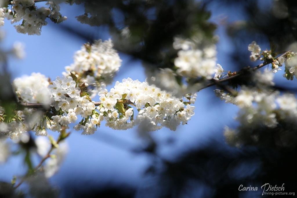 Kirschblüten.....