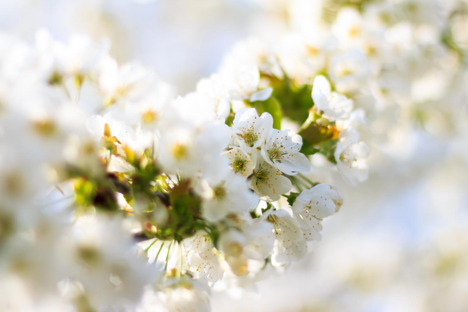 Kirschblüten ...