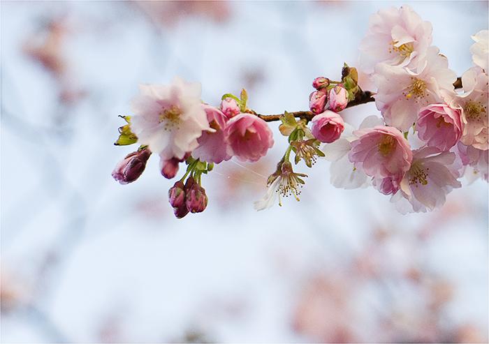 kirschblüten°°